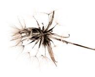 Salsify autumnal seedhead, monochrome. On white Royalty Free Stock Photos