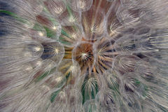 Salsify Seed Head Stock Image