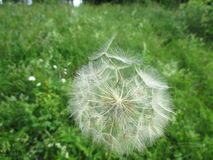 Salsify Royalty Free Stock Image