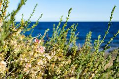 Salsola vermiculata on the seaside Stock Images