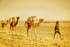 Salt Camel in Dallol, Danakil Depression, Ethiopia. Stock Images