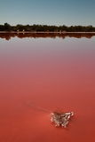 Salt covered plant in noxious pink coloured lake Stock Photos