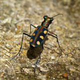 The Salt Creek tiger beetle Stock Photo