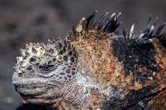 Salt excretion at iguanas Stock Photo