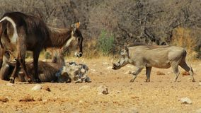 Salt Fight 1 - Warthog and Waterbuck Royalty Free Stock Photos