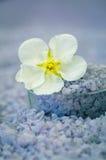 salt havswhite för blomma Arkivbilder