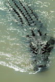 salt krokodil Royaltyfri Fotografi