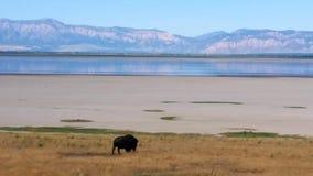 Salt Lake-Bison stockfotos