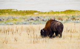 Salt Lake Bison. Bison grazing on Antelope Island, Utah Royalty Free Stock Photos