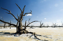 Salt Lakes and Dead Trees Stock Photos
