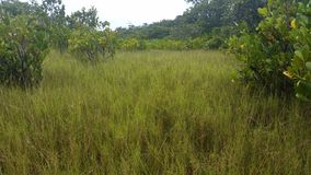 Salt Marsh Mangrove Swamp. Mangrove swamps are found in tropical and subtropical tidal areas. Areas where mangal occurs include estuaries and marine shorelines stock video