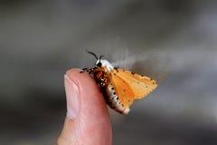 Salt marsh moth Royalty Free Stock Photo