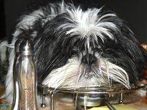 Salt'n'pepper's dog. Dog sleeping on the kitchen's table beside salt and pepper royalty free stock photo