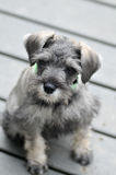 Salt and Pepper Miniature Schnauzer Puppy Stock Photo