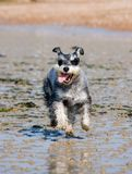 Salt and Pepper Miniature Schnauzer Running on Wet Sand Royalty Free Stock Images