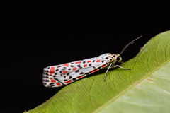 Salt-and Pepper moth or Heliotrope moth Stock Images