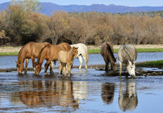 Salt River wild horse band drinks. A wild horse band drinks from the river with their reflection showing in the water   Salt river wild horses, or mustangs, in Stock Images