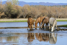 Salt River wild horse band portrait. A wild horse band drinks peacefully in the river.   Salt river wild horses, or mustangs, in the Tonto national forest, east Stock Image