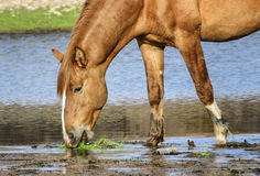 Salt River wild horse closeup. A wild horse stands and grazes in the Salt river.  Salt river wild horses, or mustangs, in the Tonto national forest, east of Stock Photography