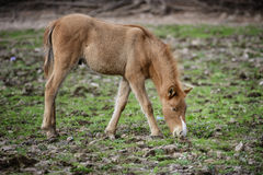 Salt River wild horse colt closeup. Closeup of a wild horse colt grazing along the river.   Salt river wild horses, or mustangs, in the Tonto national forest Stock Photos