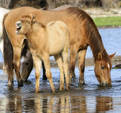 Salt River wild horse colt shouts. A wild horse colt yells while standing in the river.  Salt river wild horses, or mustangs, in the Tonto national forest, east Royalty Free Stock Photos