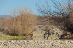 Salt River Wild Horse Drinking Royalty Free Stock Photo