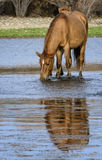 Salt River wild horse drinks with reflection. A wild horse drinks in the Salt river with its reflection showing.   Salt river wild horses, or mustangs, in the Stock Photo