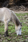 Salt River wild horse with eyes closed Royalty Free Stock Photo