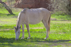 Salt River Wild Horse Grazing Stock Images