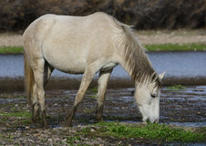 Salt River wild horse grazing in the river Royalty Free Stock Photography