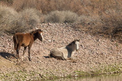 Salt River Wild Horse Mare and Foal Royalty Free Stock Image