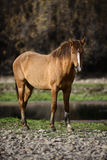 Salt River wild horse poses. A wild horse poses at sunset along the river.  Salt river wild horses, or mustangs, in the Tonto national forest, east of Phoenix Royalty Free Stock Photo