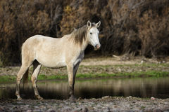 Salt River wild horse poses at sunset. A wild horse poses next to the river at sunset.  Salt river wild horses, or mustangs, in the Tonto national forest, east Stock Images