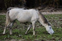 Salt River wild horse reaches Royalty Free Stock Photos