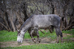 Salt River wild horse reaches. A wild horse strolls through the forest while sniffing the ground.   Salt river wild horses, or mustangs, in the Tonto national Royalty Free Stock Photo