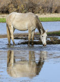 Salt River wild horse reflection. A wild horse drinks in the river, with its reflection showing.  Salt river wild horses, or mustangs, in the Tonto national Royalty Free Stock Photography