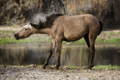 Salt River wild horse shake. A wild horse shakes off the dust along the Salt river.  Salt river wild horses, or mustangs, in the Tonto national forest, east of Stock Image