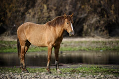 Salt River wild horse at sunset. A wild horse poses along the Salt river at sunset.  Salt river wild horses, or mustangs, in the Tonto national forest, east of Royalty Free Stock Photo