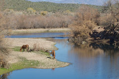 Salt River Wild Horses Stock Photos