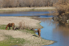 Salt River Wild Horses Arizona Stock Photos