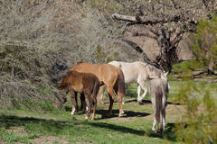 Salt River Wild Horses Grazing Royalty Free Stock Image