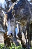 Salt River wild horses Stock Photo