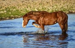 Salt River wild horses Stock Image