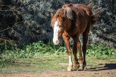 Salt River wild horses Stock Photos