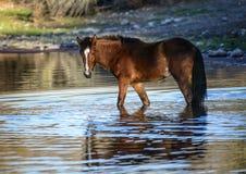 Salt River wild horses Stock Photography