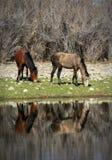 Salt River wild horses Royalty Free Stock Photography