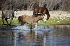 Salt River wild horses Royalty Free Stock Images
