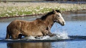 Salt River wild horses Royalty Free Stock Photo
