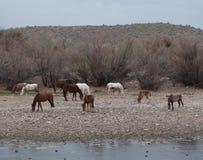 Salt River wilde Mustang-Herde mit Babys Lizenzfreie Stockbilder