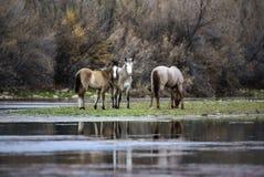 Salt River wilde Pferde lizenzfreies stockbild